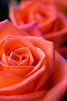 Free Beautiful Roses Royalty Free Stock Image - 5197736