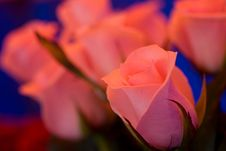 Free Beautiful Roses Stock Photos - 5197883