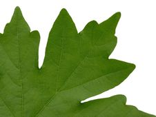 Free Maple Leaf Royalty Free Stock Image - 5198066