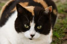 Free Tricolor Cat Royalty Free Stock Photo - 5198505