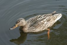 Free Duck Royalty Free Stock Photography - 5198527