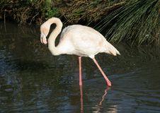 Free Flamingo Stock Images - 5198634