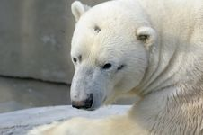 Free Polar Bear Stock Image - 5199161