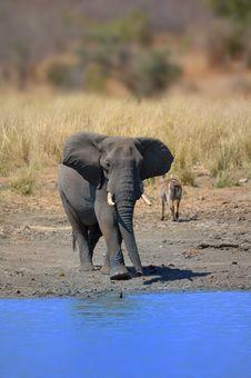 Free Elephant (Loxodonta Africana) Stock Photography - 5199182