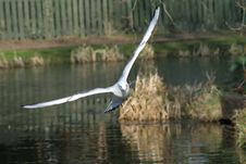 Free Seagull Royalty Free Stock Photos - 5199228