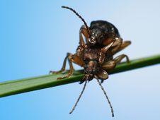 Free Beetles Making Love Stock Photo - 5199270