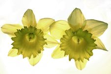 Free Yellow Narcissis Stock Image - 5199361