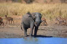 Free Elephant (Loxodonta Africana) Royalty Free Stock Photo - 5199365