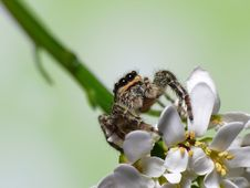 Jump Spider On Flower Royalty Free Stock Photos