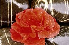Free Beautiful Red Rose Royalty Free Stock Image - 5199636