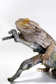 Free Bearded Dragon Stock Photography - 5199772