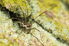 Free Harvestman Close-up Macro Insect Royalty Free Stock Photos - 5199918