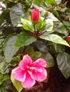 Free Red Hibiscus Flowers In Singapore Royalty Free Stock Image - 51945586