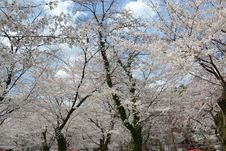 Free Spring In Kyoto, Japan Royalty Free Stock Photography - 51958527