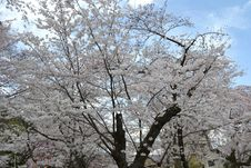 Free Spring In Kyoto, Japan Royalty Free Stock Photos - 51958528