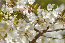 Free Spring Blossom Flowers On Branch Royalty Free Stock Image - 51960396