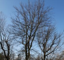 Bare Branches And Blue Sky Royalty Free Stock Image