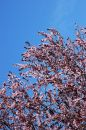 Free Cherry Blossom Tree On A Clear Day Royalty Free Stock Photo - 527655