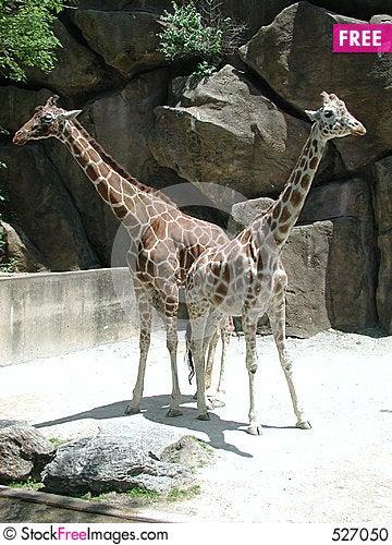 Free Giraffe Pair Stock Photo - 527050