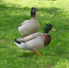 Free Mallards In The Park Stock Image - 520041