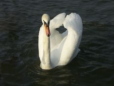 Free Swan Stock Images - 520044