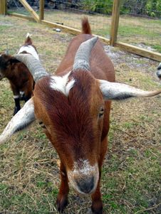 Free Goat Says What Stock Photos - 520393