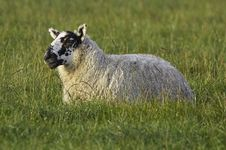 Free Black-Faced Sheep Stock Images - 520634