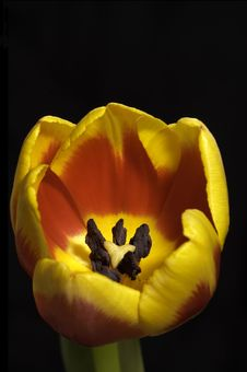Free Tulip Macro Royalty Free Stock Photo - 520815