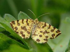 Free Pseudopanthera Macularia. Stock Photos - 520863