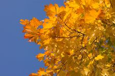 Free Maple Leaves Stock Photography - 521162