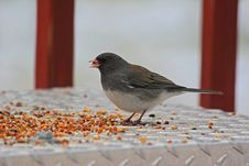 Free Bird Eating Seed Stock Image - 522021