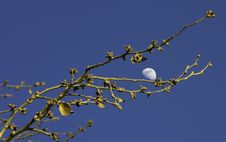 Free Moon And Branches Royalty Free Stock Images - 522859