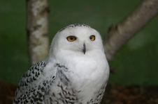 Free Snow Owl Stock Photo - 523490