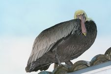 Bad Attitude Pelican Stock Photography