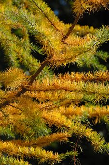 Free Larch In Autumn Royalty Free Stock Image - 524026