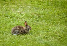 Free Bunny (Sylvilagus Floridanus) In The Grass Royalty Free Stock Photo - 524085
