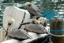 Free Pelicans On A Boat Stock Photography - 524422