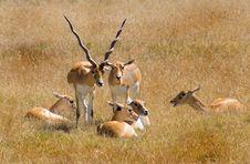 Free Antelope Stock Images - 525704