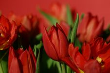 Free Red Tulips Royalty Free Stock Photography - 526217