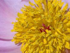 Free Clair Matin (Rosaceae Rosa) Macro Stock Images - 526284