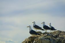 Free Seagull Friends Royalty Free Stock Photography - 526467
