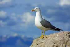 Free Lone Seagull In Front Of Cloudy Sky Royalty Free Stock Images - 526469