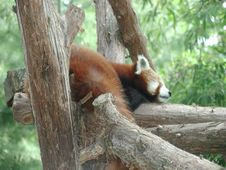 Free Red Panda Nap Royalty Free Stock Image - 527046