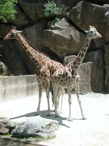 Free Giraffe Pair Stock Photo - 527050