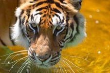 Free Tiger Stock Photos - 527183
