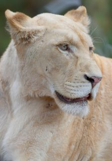 White Lioness Portrait Stock Images