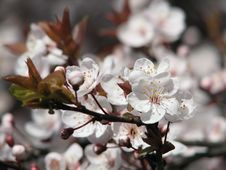 Free Cherry Blossom Stock Photography - 527702