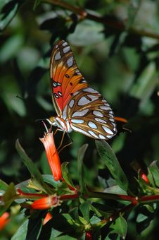 Free Gulf Fritillary Butterfly Eating Nectar Stock Photos - 527833