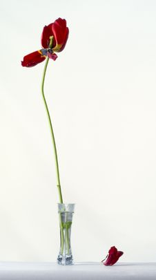 Free Still Life With The Tulip Stock Photo - 528100