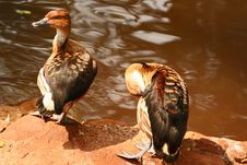Ducks On Lake Royalty Free Stock Images